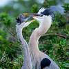 Great Blue Heron juveniles at play