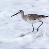 Willet in sea foam