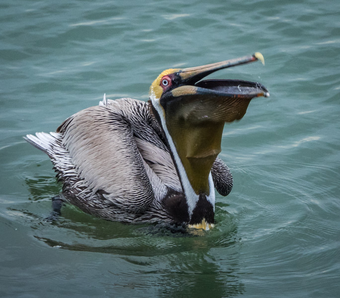 Brown Pelican swallowing fish
