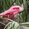 Roseate Spoonbill with juvenile