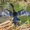 Cormorant drying it's wings