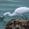 Little Egret catching dinner