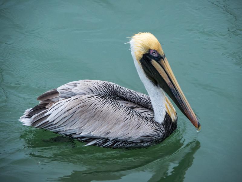 Brown Pelican (male)