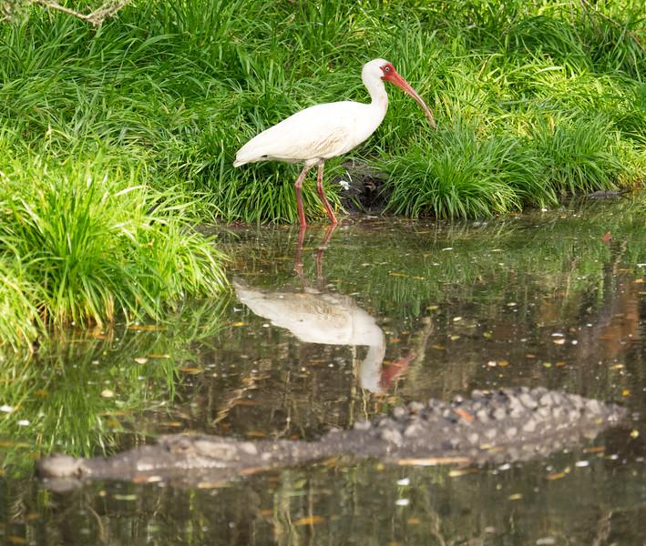 White Ibis avoiding alligator