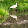 White Ibis avoiding alligator