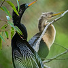 Anhinga male and female