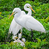 Great Egret pair with triplets