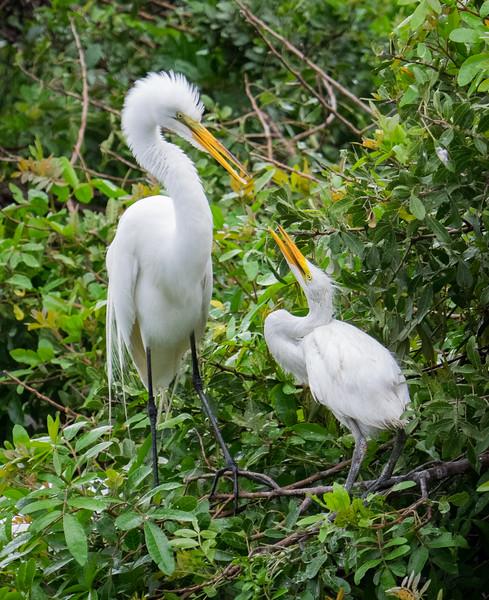 Great Egrets--feeding time