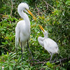 Great Egrets--feeding time