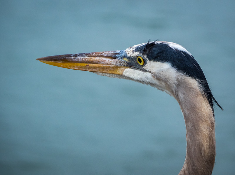Profile of Great Blue Heron