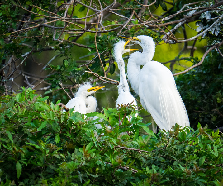 Great Egrets--hungry juveniles