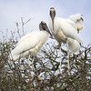 Pair of Wood Storks