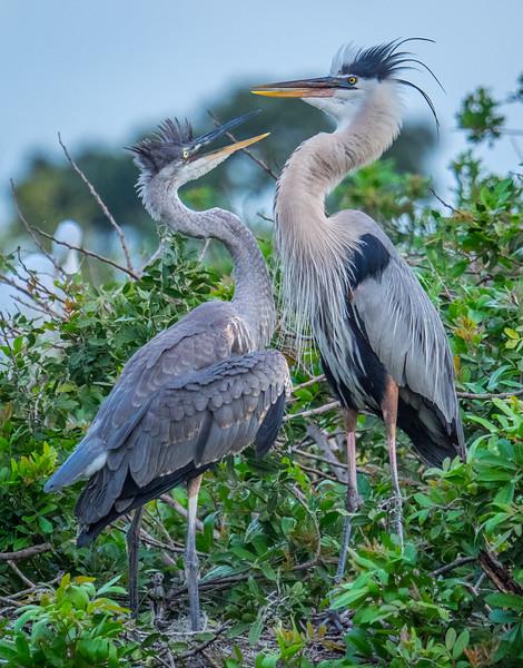 Great Blue Heron juvenile seeking food
