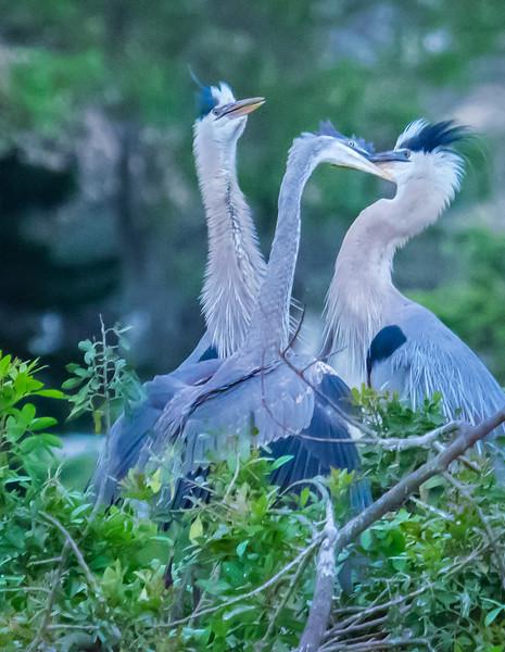 Great Blue Herons feeding