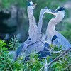 Great Blue Herons feeding