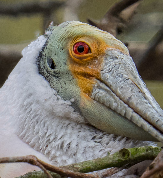 Roseate Spoonbill head