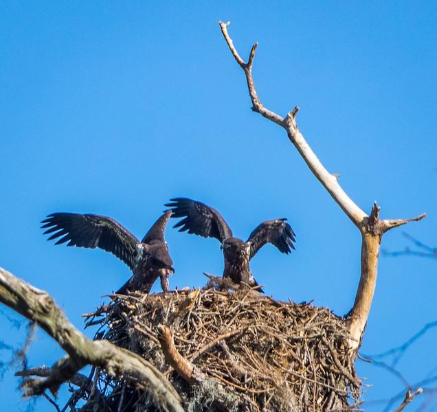 Bald Eagles (juveniles)