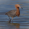Reddish Egret...watch the hunt.  first, start looking...