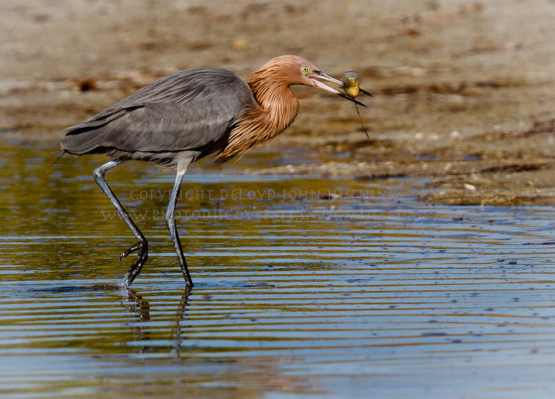 And walk off with your catch before someone steals it...Reddish Egret