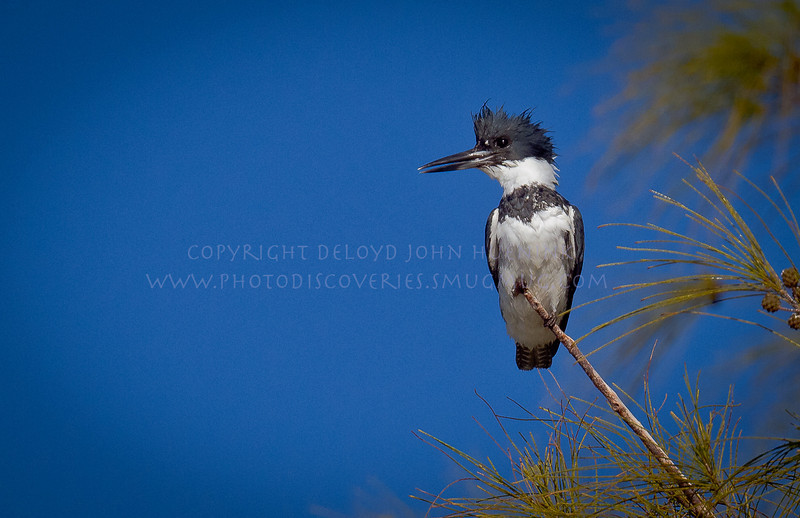 Belted Kingfisher...check out the foot at the top, gripping the branch to prevent sliding...