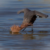 Then raise your wings to make shade so you can see into the water...then when you see a fish, plunge head first...reddish egret