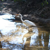 Great White Egret,,,I love this photo,,,the light, the reflection, the shimmers, the stark remoteness of the low tide...