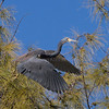 Tri-Colored Heron, looking for a landing place high in the pines...