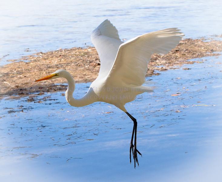 Landing Pattern...Great White Egret