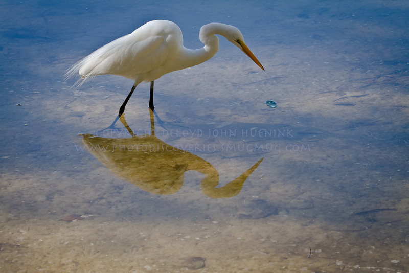 ON the Hunt Again...Great White Egret