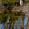 Great White Egret.  note the reflections...the trees, the birds, the sky...