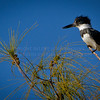 Belted Kingfisher...Getting ready to fly...