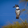 Belted Kingfisher...same pose, different angle