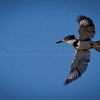 Belted Kingfisher...Flying over the water, looking for something to eat...