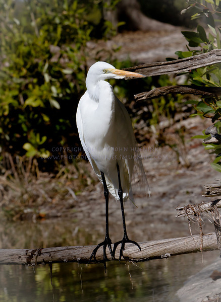 Great White Egret...I enjoy the legs and feet...