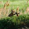 Playful mates near the den. Taken in Northern Utah