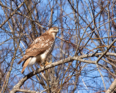 Redtail Hawk on a very cold winter day.