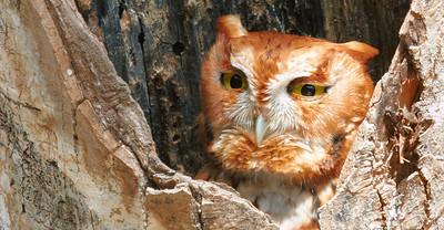 Red-Phase Screech Owl Near Waterloo in Northwest Alabama.