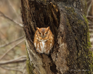 Screech owl in the rain. Note the wet head and barely open eyes.