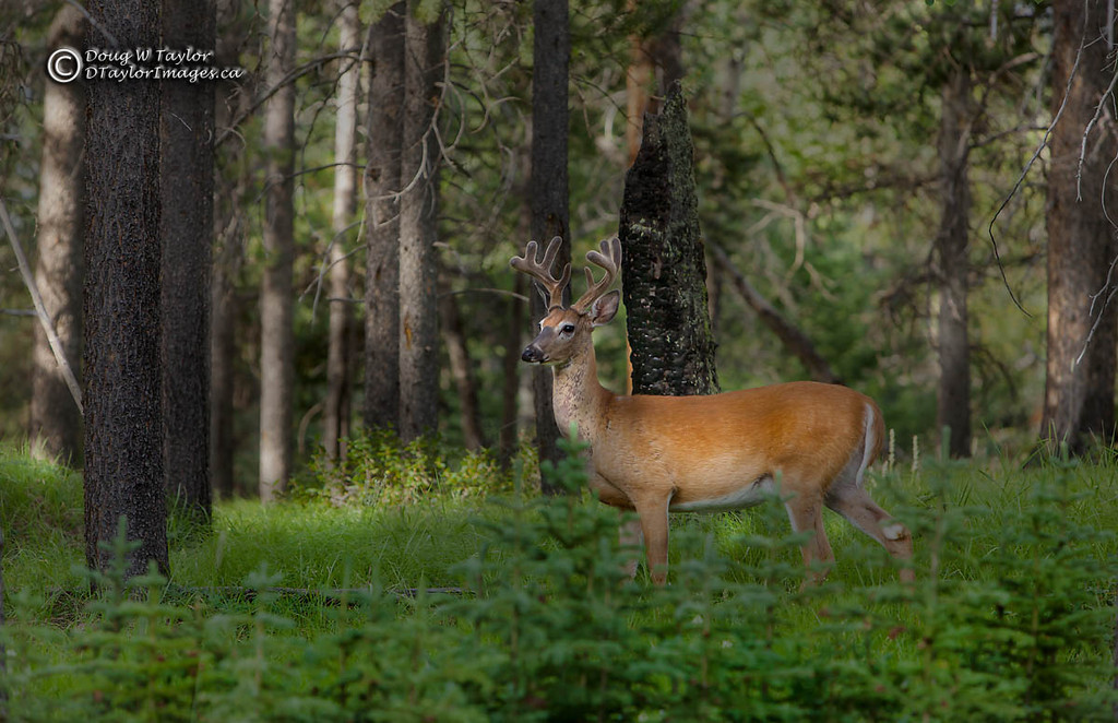White-tailed Deer (Odocoileus virginianus).