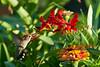 Rufus Hummingbird, Taken in Utah