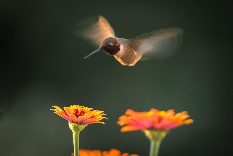 Humming Bird in the flower garden
