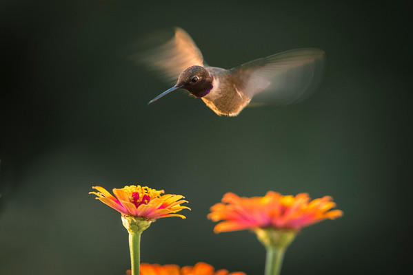 Humming Bird in the flower garden