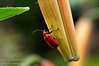 A Flower Beetle (Lemodes coccinea) on a lily bloom