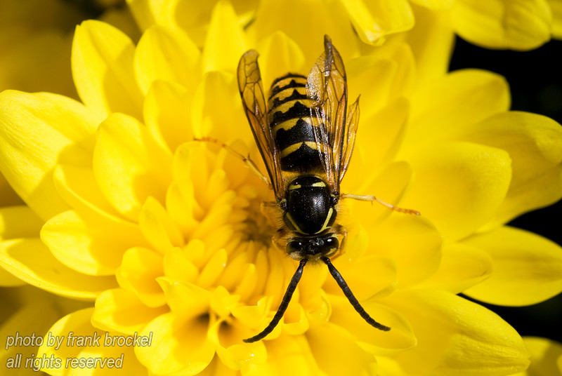 A black and yellow wasp on a bright yellow flower