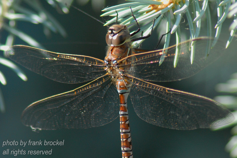 A dragonfly digesting his last mosquito