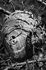 A wasp (hornet ?) nest the size of a full sized cabbage - I rendered it in B&W to better show off the intricate layering