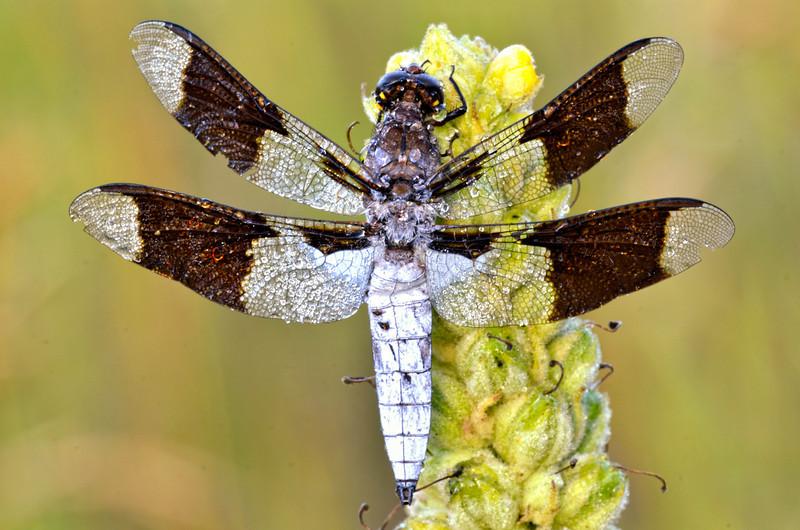 Morning Moth