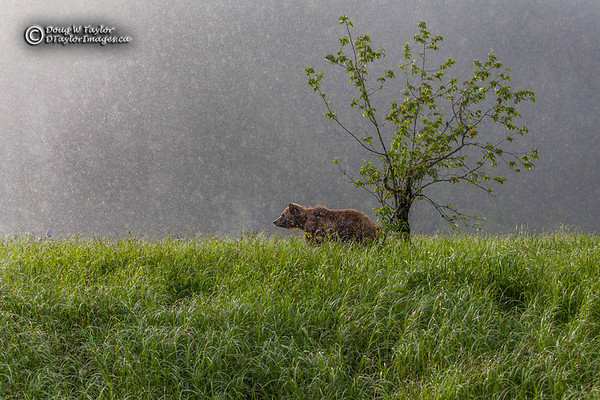 Grizzly Bear (Ursus arctos horribilis) in the rain.