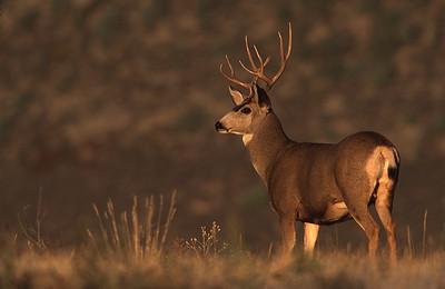 Mule deer in early morning light at Bear Creek Lake Park in Lakewood Colorado