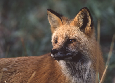 Red Fox at Prospect Park, Lakewood, Colorado.
